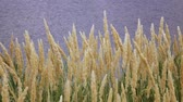 mısır tarlası : Wheat field spikelets of wheat on the field. Slow motion