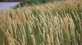 hozam : Immature green spikelets swing in the wind. Slow motion