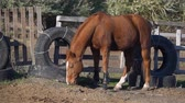 nibbling : Horse in a wooden corral is nibbling grass. Slow motion