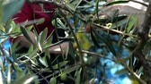 autumn : harvesting olives by hands Stock Footage