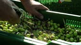 krajina : Farmer Selecting olives