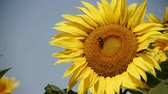 расцвет : Sunflower in the summer