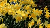 jonquil : Close Up of daffodils waved by the wind. Stock Footage