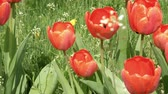 field : Red tulips in the garden flowerbed swaying in the wind. Closeup shot. Nature sunny summer and spring concept. 4K UHD video footage. Stock Footage