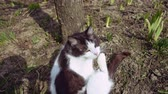 tomcat : Black and white domestic cat is scratching its head while sitting on the ground outdoors. Slow motion.