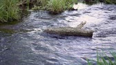 entrar : Water stream flows around the log in slow motion. Water flows calm creating small waves. Beauty in nature zen like scene.