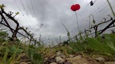 vinice : Lonely red poppy at vineyard