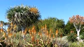 aloes : Aloe blossom and good weather with blue sky, Los Angeles Wideo