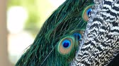 tavuskuşu : peacocks fan close up shot at Los Angeles