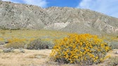 gorąco : Video of Little yellow Brittlebush blossom at Whitewater, Palm Springs, California Wideo