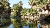 vadi : Video of the palm trees with reflection at McCallum Pond, Coachella Valley Preserve