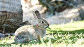 4K Video of Beautiful wild rabbit eating grass at Los Angeles