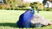 tavuskuşu : 4K Video of peacock resting on ground at Los Angeles
