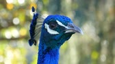 usa : 4K close up video of peacocks head moving around at Los Angeles Stock Footage
