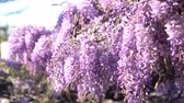 wisteria : 4K video of the world oldest Wistaria blossom at Sierra Madre, California Stock Footage