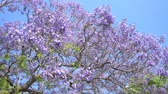 vibrante : Beautiful Jacaranda Trees blossom at Los Angeles County Arboretum & Botanic Garden