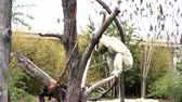 macaco : White monkey hanging around, walking on the rope at Denver, Colorado, United States Vídeos