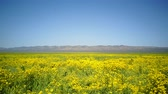 Bird eye view of the teautiful yellow goldifelds blossom at Carrizo Plain National Monument, California, U.S.A. Stok Video