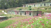 özel : The abandoned military camp and Cosmos bipinnatus blossom at Matsu, Taiwan Stok Video