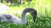anglia : One young swan sitting in a grass field at Arundle, United Kingdom