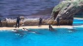 estados unidos : San Diego, JUN 27: Killer whales shows in the famous SeaWorld on JUN 27, 2018 at San Diego, California Stock Footage