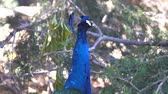 tavuskuşu : 4K video of peacock eating and walking, saw at Los Angeles, California