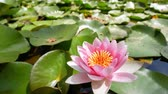 oktatás : Beautiful blossom of Nymphaea tetragona, saw in California Institute of Technology, Los Angeles