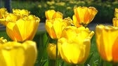 sunny side up : Super colorful tulips blossom in the famous Keukenhof at Netherlands