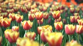 Нидерланды : Super colorful tulips blossom in the famous Keukenhof at Netherlands