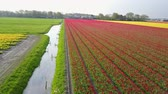 hollanda : Aerial view of super colorful tulips farm blossom around Leiden country side at Netherlands Stok Video