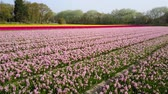tulip flower : Aerial view of super colorful tulips farm blossom around Leiden country side at Netherlands Stock Footage