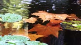 tükör : Close up shot of a brown maple fallen leaf in a pond at Los Angeles, California Stock mozgókép