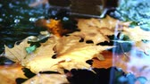 kaliforniya : Close up shot of a brown maple fallen leaf in a pond at Los Angeles, California Stok Video
