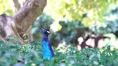 tavuskuşu : Cute peacock siting in a bush forest at Los Angeles, California