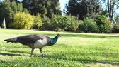 стенд : Female peacock walking around at Los Angeles, California Стоковые видеозаписи