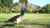 kaliforniya : Female peacock walking around at Los Angeles, California Stok Video