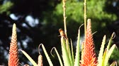 aloes : Hummingbird and beautiful red Aloe arborescens, photo took at Los Angeles