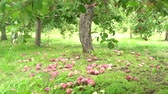 ハング : Many mature apple hanging on the tree and lying on the ground at Quebec, Canada 動画素材