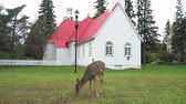 canadense : Deer was eating an apple in front of a church at Mont-Tremblant National Park, Quebec, Canada