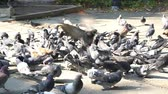 canadense : Many pigeons eating in the Berczy Park at Toronto, Canada