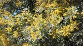 fondo jardin : La hermosa Acacia chinchillensis (chinchilla wattle) florece