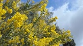 akác : The beautiful Acacia chinchillensis (chinchilla wattle) blossom