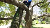 unido : Peacock sitting on a branch