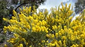 usa : The beautiful Acacia chinchillensis (chinchilla wattle) blossom