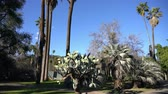 campo : Looking up the palm tree with cactus below at Los Angeles, California