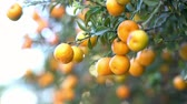 ハング : Mature orange hanging on the tree