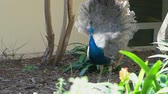 tavuskuşu : Young male peacock Stok Video