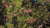 correto : The beautiful spider flowers blossom at Los Angeles, California Stock Footage
