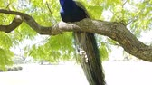 páva : Peacock sitting on a branch at Los Angeles, California