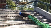 tavuskuşu : Peacock drinking water in a stair
